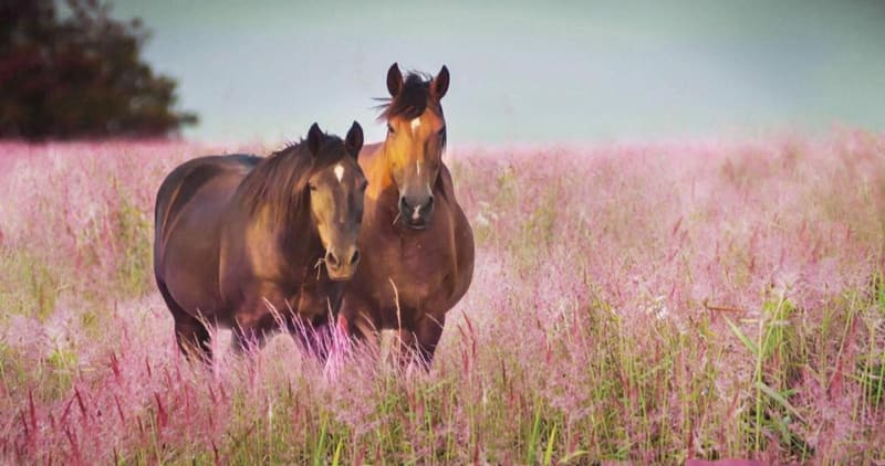 cỏ hồng (03)