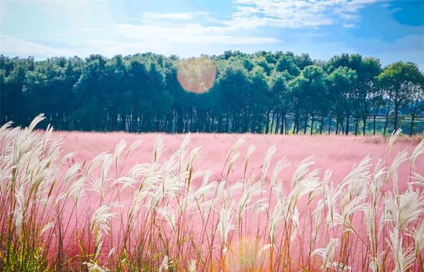 cỏ hồng đà lạt